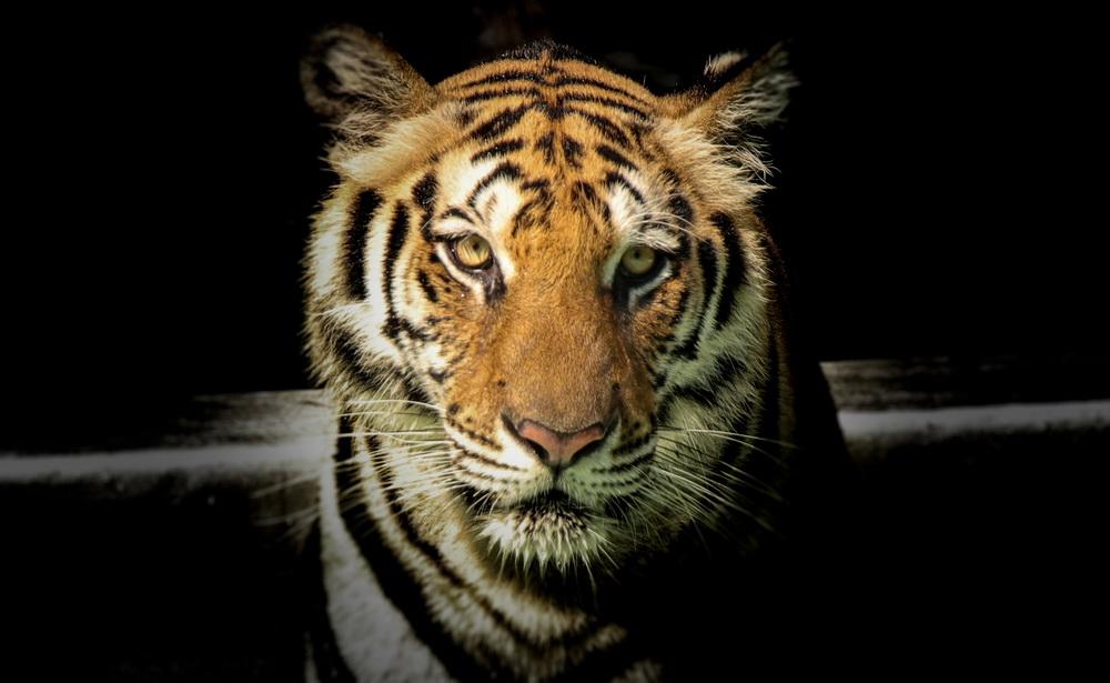 ojo kekudung welulang macan stand on your own